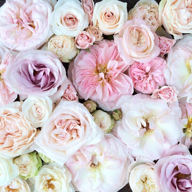 Blush-Roses
