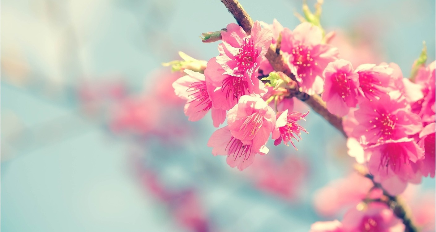 Where to see cherry blossom in London!